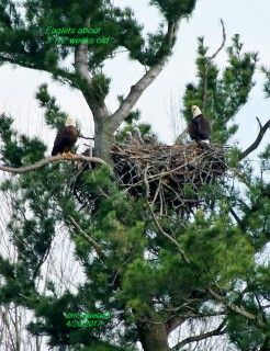 3 eaglets and two parents at nest
