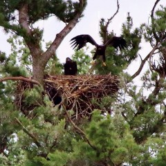 Juvenile Eagles Hopping in Nest