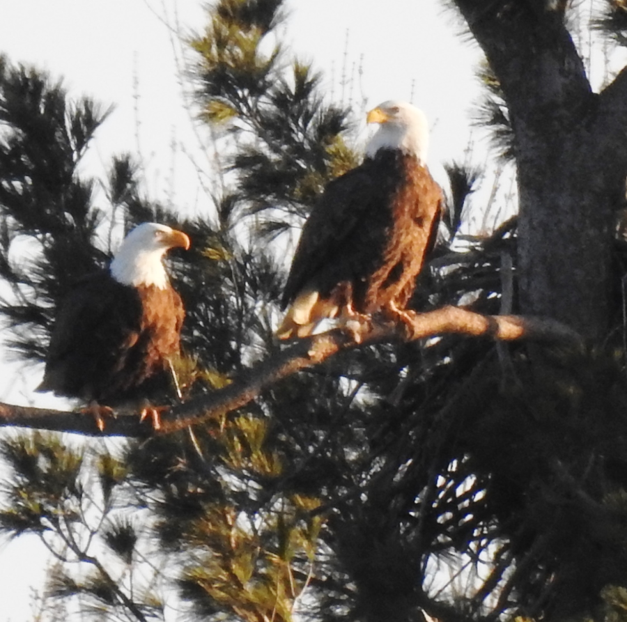 Two adult eagles on branch