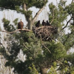 3 eaglets in nest on branch of tree