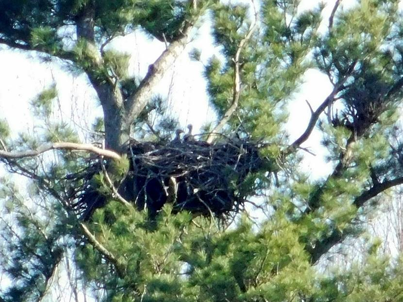 two eaglets popping up above nest