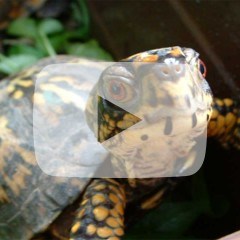 Box turtle looking up