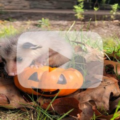 Young Opossum with Pumpkin