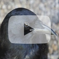 side view of crow face and beak