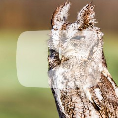 Screech Owl squinting with ears up