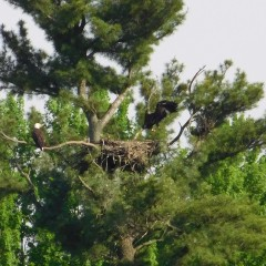 one eaglet hopping on branch