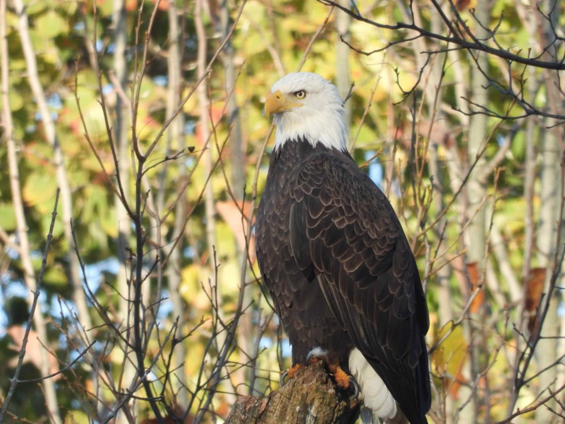 eagle perched on tree with branches surrounding