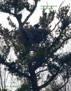Eagles on Nest in Feb. 2017